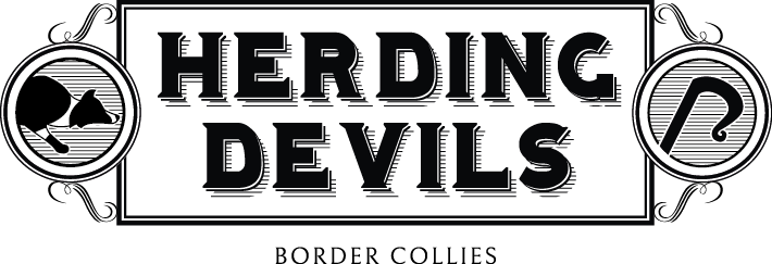 Herding Devils Border Collies